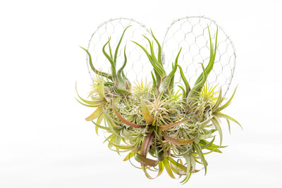 Hanging Air Plant Heart Arrangement in Gift Box | Wreath | Valentine's Day Present | White Mesh Frame from AirPlantShop.com