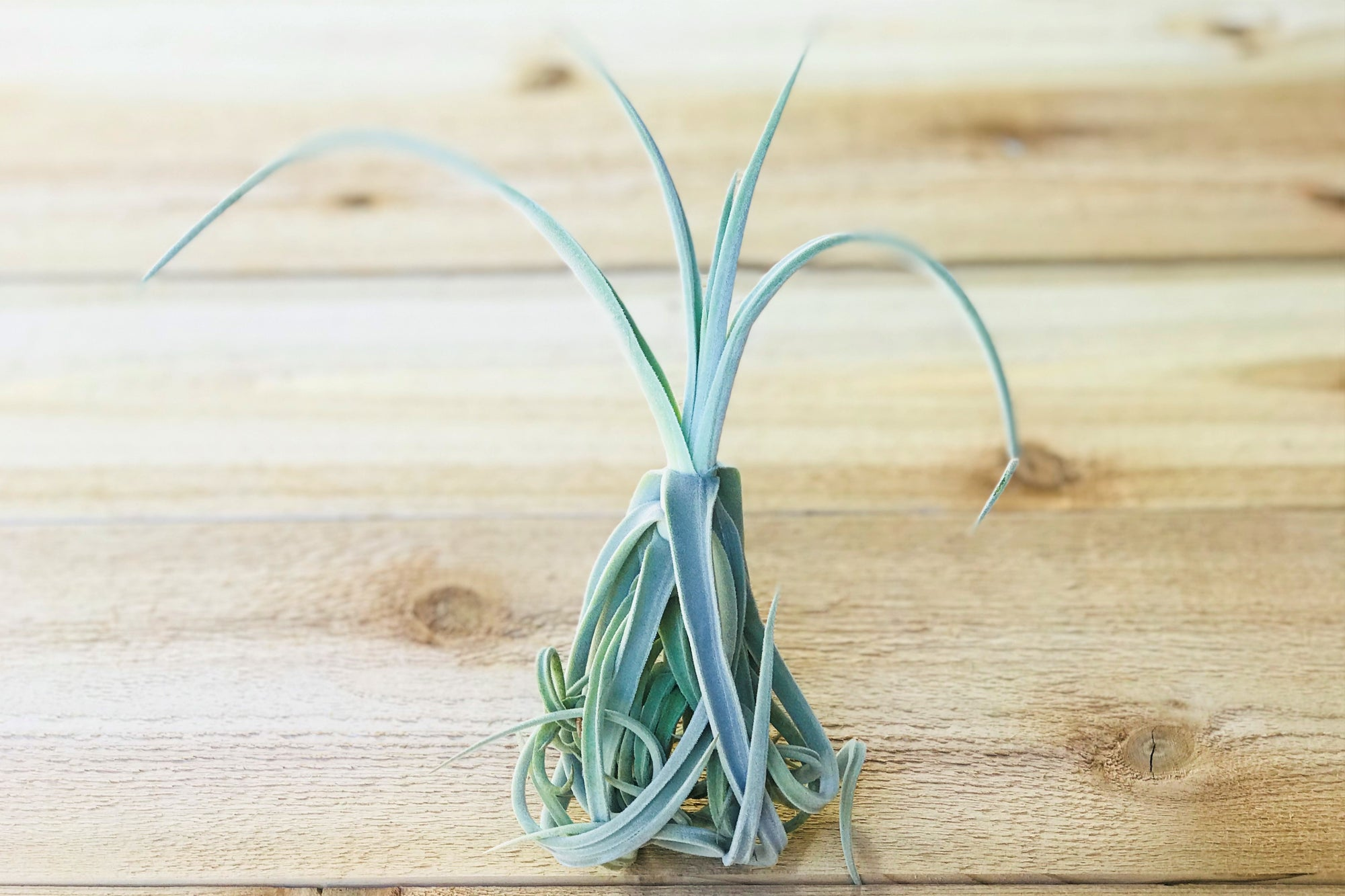 Unique Tillandsia Duratii - Thick, Curly Leaves - Limited Quantities [Single Plant] from AirPlantShop.com