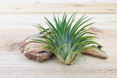 Tillandisa Ionantha Huamelula - Collector's Variety Tillandsia from AirPlantShop.com