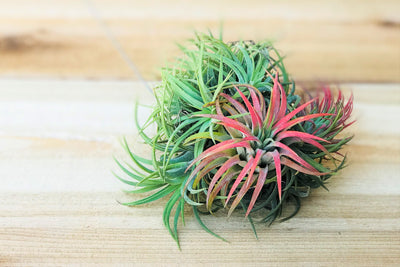 Wholesale: Tillandsia Ionantha Hanging Clusters with Wire Hook [Min Order 12] from AirPlantShop.com