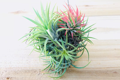 Sale: 50% Off [3 or 6 Pack] Tillandsia Ionantha Hanging Clusters with Wire Hook from AirPlantShop.com