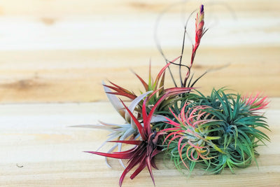 [10 Pack] Color, Bud + Blush Air Plants from AirPlantShop.com