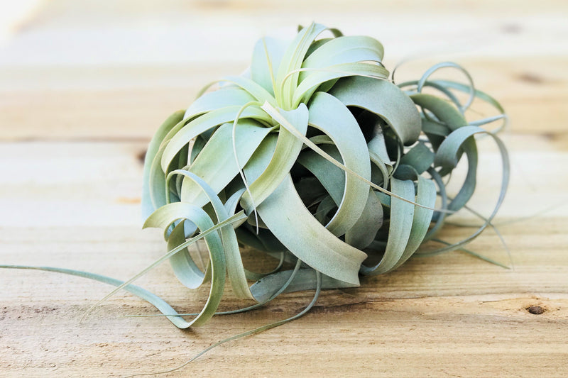 Sale: 50% Off [3 or 6] Medium Tillandsia Xerographica Air Plants | Curly & 5-7 Inches Wide from AirPlantShop.com