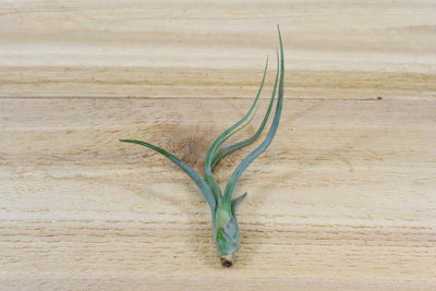 [3 Pack] Tillandsia Baileyi 'Pseudobaileyi' Air Plants - Tiger Striped Leaves