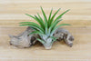 [10 Pack + Fertilizer] Air Plant Grab Bag of Small & Medium Plants & Tillandsia Fertilizer