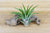 Wholesale: Large Tillandsia Velutina Air Plants / 4-7 Inches Tall [Min Order 12] from AirPlantShop.com