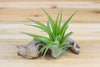 Wholesale: Tillandsia Green Abdita - 'Brachycaulos Multiflora' Air Plants|Free Shipping [Min Order 36]