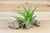 Wholesale: Tillandsia Green Abdita - 'Brachycaulos Multiflora' Air Plants [Min Order 36]
