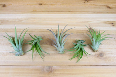 Sale: 60% Off [10, 20, or 30 Pack] Abdita Brachycalous Air Plants