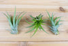 Wholesale: Large Tillandsia Green Abdita - 'Brachycaulos Multiflora' Air Plants / 5-7 Inches Tall [Min Order 12] from AirPlantShop.com