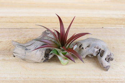 Sale: 45% Off [5, 10, or 15 Pack] Red Abdita Air Plants from AirPlantShop.com
