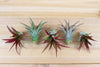 Wholesale: Tillandsia Red Abdita Air Plants [Min Order 12]
