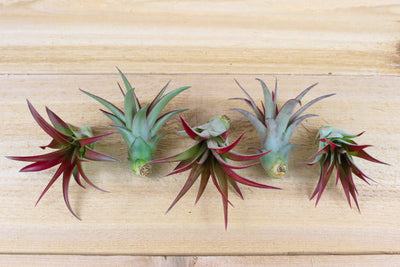 Sale: 45% Off [5, 10, or 15 Pack] Tillandsia Red Abdita Air Plants from AirPlantShop.com