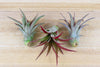 [3 Pack] Tillandsia Red Abdita Air Plants - Brilliant Red