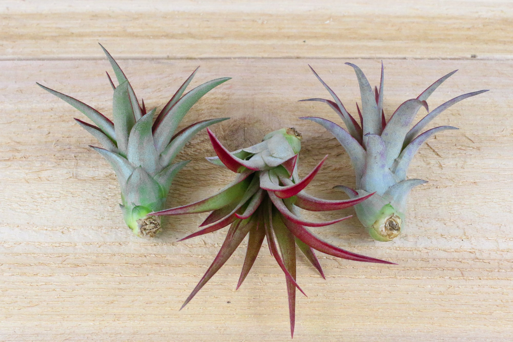 [3 Pack] Tillandsia Red Abdita Air Plants - Brilliant Red from AirPlantShop.com