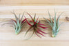 Wholesale: Large Tillandsia Red Abdita Air Plants / 5-7 Inches Tall [Min Order 12]