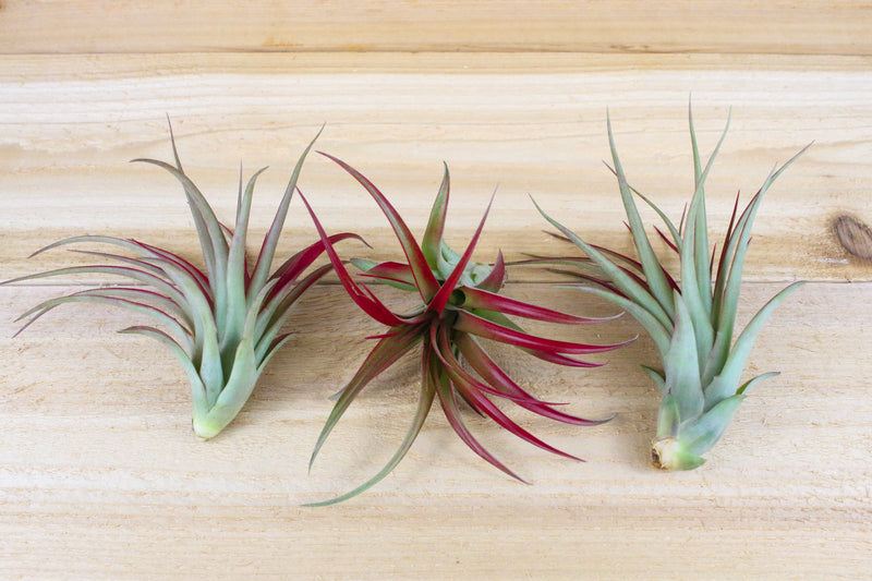 Sale: 45% Off [5, 10, or 15 Pack] Large / 5-7 Inch Tillandsia Red Abdita Air Plants from AirPlantShop.com