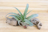 SALE: 45% Off Large Tillandsia Capitata Peach Air Plants / 5-8 Inches Tall [10 or 20 Pack] from AirPlantShop.com