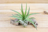 [6 Pack + Fertilizer] Air Plant Grab Bag of Small & Medium Plants & Tillandsia Fertilizer from AirPlantShop.com