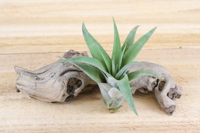 [3 Pack] Tillandsia Capitata Peach Air Plants