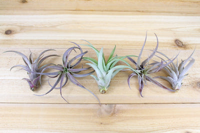 Sale: 35% Off [5, 10, or 15 Pack] Capitata Peach Air Plants from AirPlantShop.com