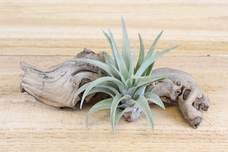 [3 Pack] Tillandsia Harrisii Air Plants - Beautiful Silver-White Leaves from AirPlantShop.com