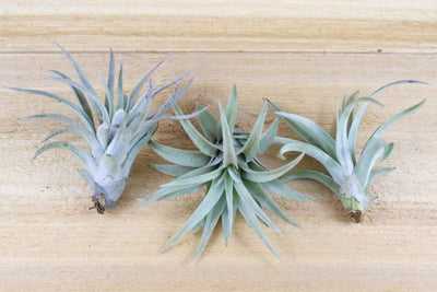 [3 Pack] Tillandsia Harrisii Air Plants - Beautiful Silver-White Leaves