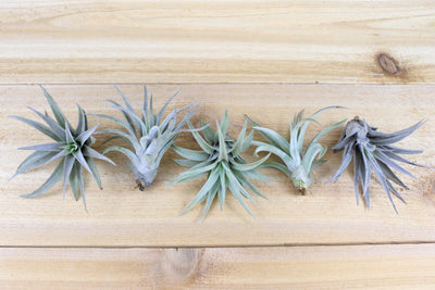 Tillandsia Harrisii Air Plants [Single Plant]