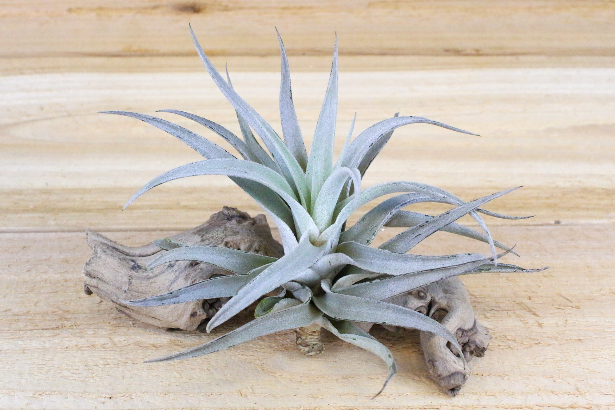 Wholesale: Large Tillandsia Harrisii 'Himnorum' Air Plants / 5-7 Inches Tall [Min Order 12] from AirPlantShop.com