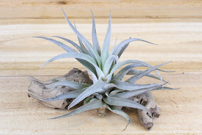 Wholesale: Large Tillandsia Harrisii 'Himnorum' Air Plants / 5-7 Inches Tall [Min Order 12]