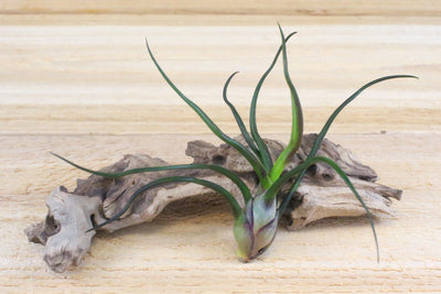 Sale: 45% Off [5, 10, or 15 Pack] Bulbosa Guatemala Air Plants from AirPlantShop.com