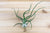 Large Tillandisa Bulbosa Belize Air Plants / 6-8 Inches Tall [1, 3 or 5 Pack]