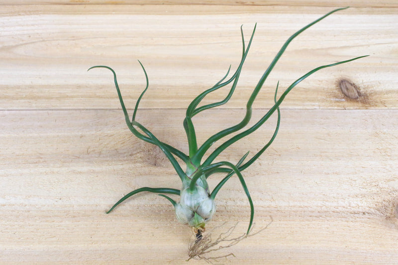Large Tillandisa Bulbosa Belize Air Plants / 6-8 Inches Tall [1, 3 or 5 Pack] from AirPlantShop.com