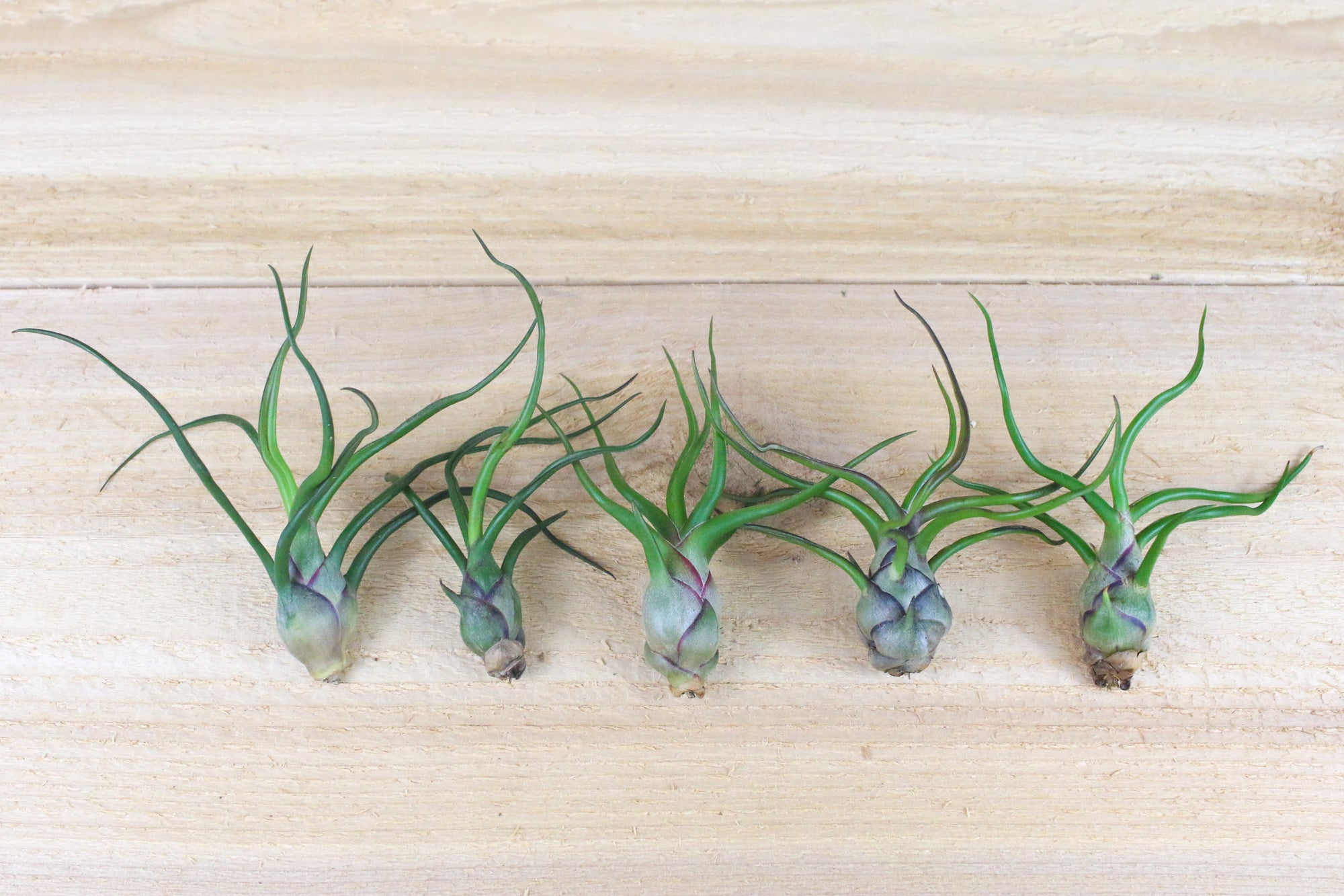 [5 Pack] Tillandsia Bulbosa Guatemala Air Plants
