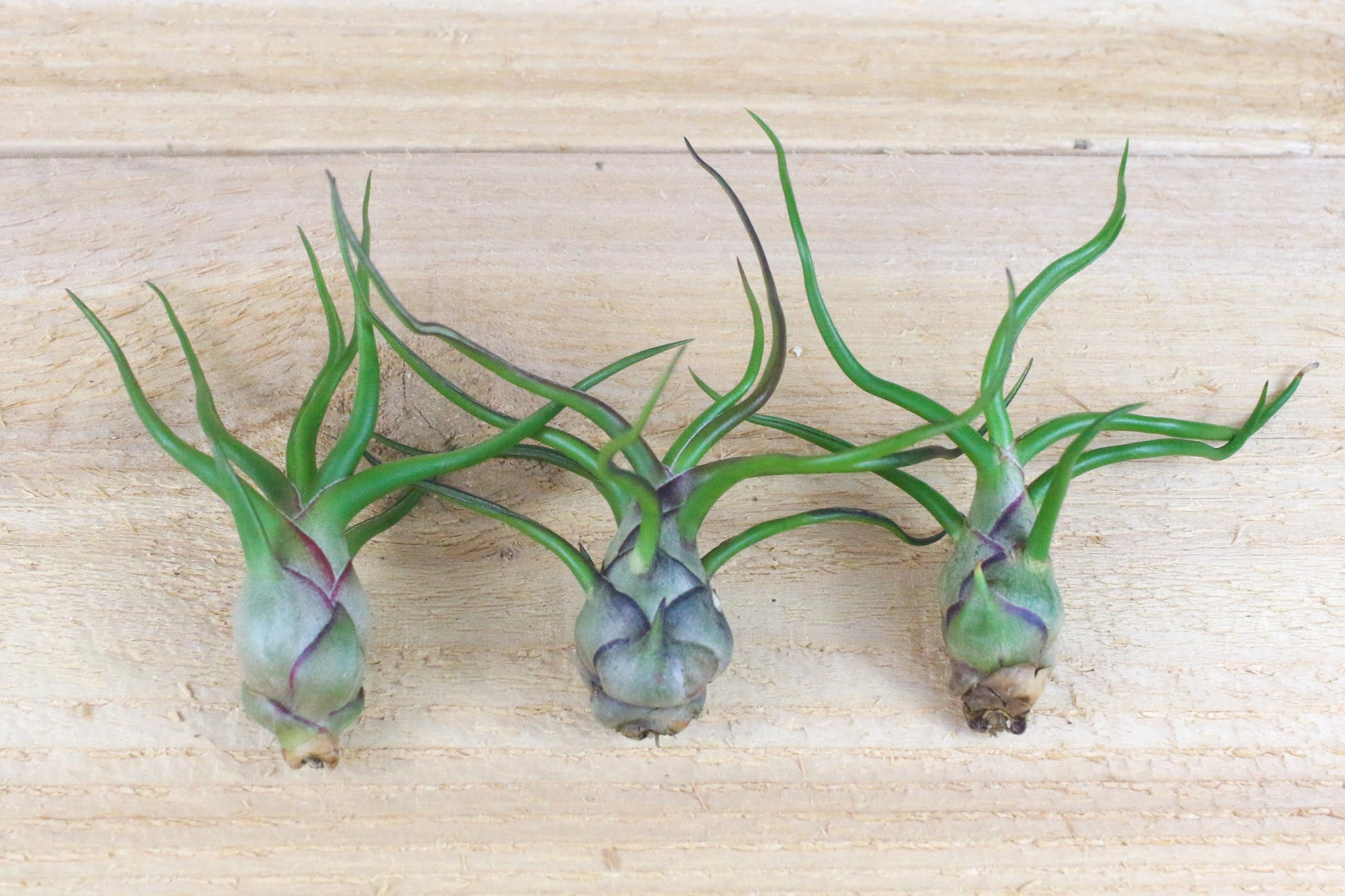 Wholesale: Tillandsia Bulbosa Guatemala Air Plants [Min Order 12] from AirPlantShop.com