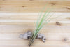 [3 Pack] Tillandsia Juncea Air Plants - Tall With Texture from AirPlantShop.com
