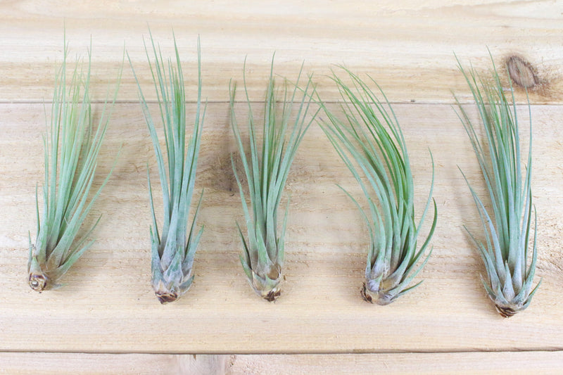 Wholesale: Tillandsia Juncea Air Plants [Min Order 12]