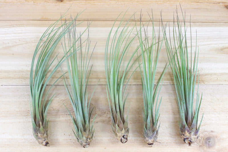 Large Tillandsia Juncea Air Plants / 8-10 Inches Tall [1, 3 or 5 Pack] from AirPlantShop.com
