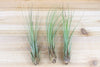 Sale: 60% Off [10, 20 or 30 Pack] Large Juncea Air Plants from AirPlantShop.com
