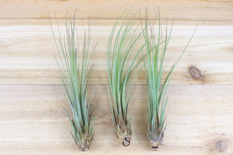 [3 Pack] Tillandsia Juncea Air Plants - Tall With Texture