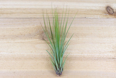 [3 Pack] Tillandsia Juncifolia Air Plants - Hybrid Plant