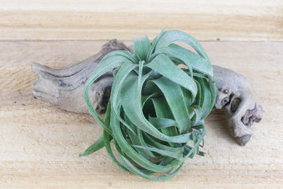 Tillandsia Streptophylla Air Plants - Collector's Variety Tillandsia [Pure Form] from AirPlantShop.com