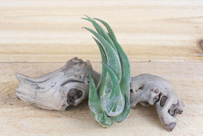 Wholesale: Large Tillandsia Seleriana Air Plants / 6-9 Inches Tall [Min Order 12]