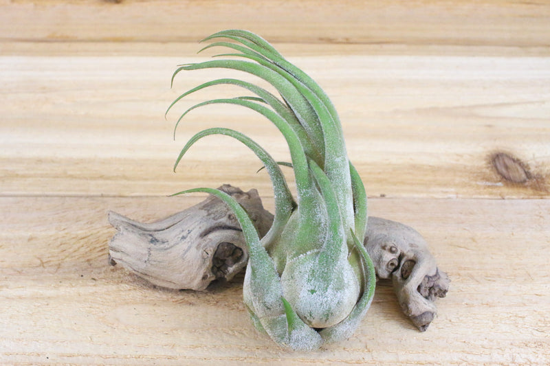 [3 Pack] Tillandsia Seleriana Air Plants - One of Our Most Unusual Plants