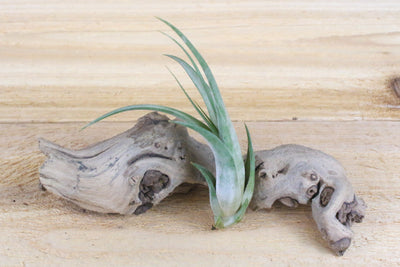 Wholesale: Large Tillandsia Circinatta 'Paucifolia' Air Plants / 5-9 Inches Tall [Min Order 12]