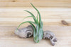Large Tillandsia Circinata 'Paucifolia' Air Plants / 5-7 Inches Tall [1, 3 or 5 Pack]