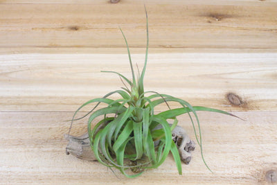 [10 Pack] Collector's Choice - Collection of 10 Specialty Variety Tillandsia - Free Shipping