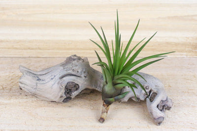Sale: 30% Off [5, 10, or 15 Pack] Tillandsia Melanocrater Tricolor Air Plants from AirPlantShop.com