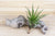 Wholesale: Tillandsia Melanocrater Air Plants [Min Order 12]