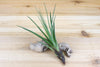 Wholesale: Large Tillandsia Melanocrater Air Plants / 5-8 Inches Tall [Min Order 12]